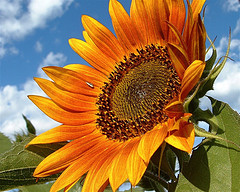 sunflower_looking_off_to_the_side alisha